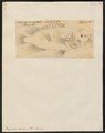 Polyprion cernium - - Print - Iconographia Zoologica - Special Collections University of Amsterdam - UBA01 IZ12900259.tif