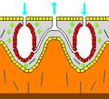 Porifera calcifying 01.png