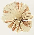 Porphyra umbilicalis 19880601b.jpg