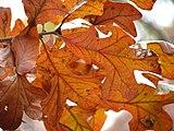 Post Oak (30361661603).jpg
