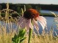 Prairie Cone Flower.jpg