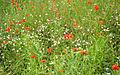Prairie en fleurs (3206450681).jpg