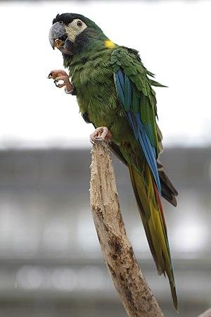 Golden-collared macaw - At Kakegawa Kacho-en, Japan