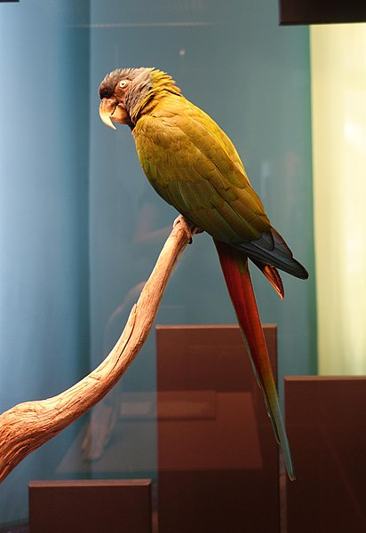 File:Primolius couloni stuffed specimens Berlin 26.jpg