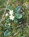 Primroses at Kirkaig Falls - geograph.org.uk - 759501.jpg