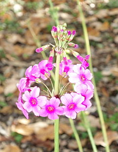 Primula poissonii