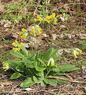 <i>Primula veris</i> species of plant
