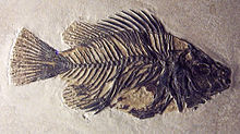 Priscacara-clivosa-fish-fossil-early-eocene-from-wyoming-on-display-smithsonian-museum-of-natural-history-august-2010.jpg