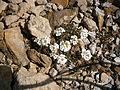 Pritzelago alpina 001.jpg