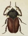 Propomacrus bimucronatus.png