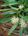 Prosthechea cochleata Encyclia cochleata OrchidsBln0906a.jpg