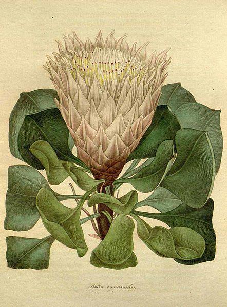 File:Protea cynaroides (L.) L.jpg