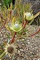 Protea scolymocephala kz4.jpg