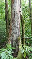 Prunus africana à São Tomé (4).jpg
