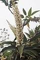 Prunus lusitanica kz07.jpg