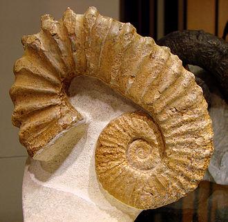 Pseudocrioceras - Pseudocrioceras