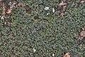 Psorula rufonigra (Tuck.) Gotth. Schneider 984885.jpg