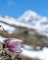 Pulsatilla vernalis, Val di Cedec Königspitze.jpg