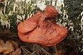 Pycnoporus cinnabarinus (24758167808).jpg