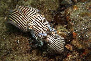 <i>Sepioloidea lineolata</i> species of mollusc