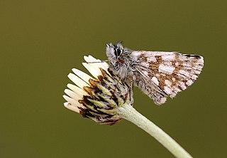 <i>Pyrgus jupei</i> Species of skipper butterfly genus Pyrgus