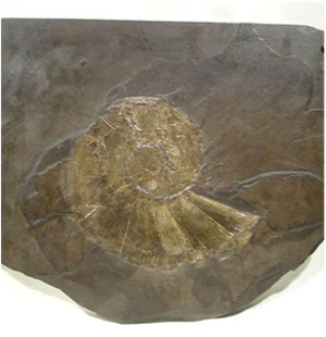 Permineralization - Pyritized Lytoceras genus ammonite in Holzmaden Shale