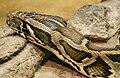Python molurus bivittatus (2).jpg