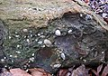 Quartz-pebble conglomerate (Berne Conglomerate, Lower Mississippian; Dugway Outcrop, Newark, Ohio, USA) 1 (32614192902).jpg