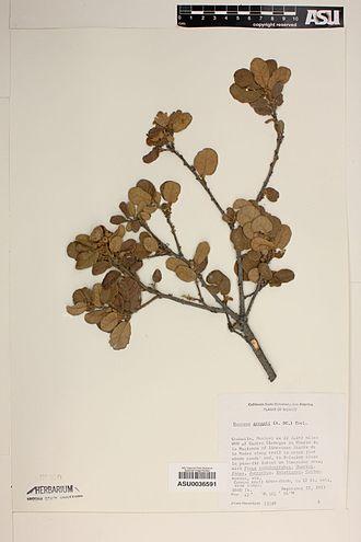 Quercus greggii - Image: Quercus greggii