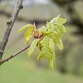 Quercus pubescens in Aveyron (7).jpg