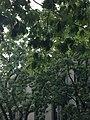 Quercus rubra (Red Oak) C35-1.jpg