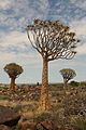 Quiver tree, Namibia.jpg