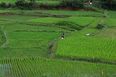Récolte du riz à Behenjy.jpg
