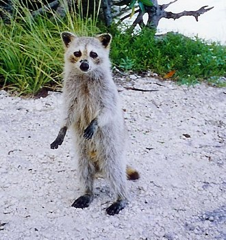 Raccoon - A Torch Key raccoon (P. l. incautus) in  Cudjoe Key, Florida. Subspecies inhabiting the Florida Keys are characterized by their small size and very pale fur.