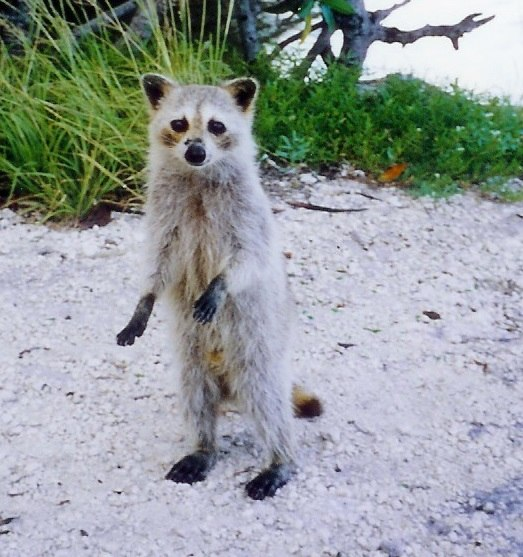 Raccoon Cudjoe Key Florida