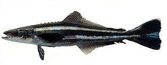 Cobia - Image: Rachycentron canadum Robertson