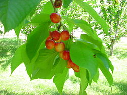 Rainier Cherries.JPG