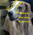 Ramanathapuram mandai dog identity with white mark from snout to forehead.png