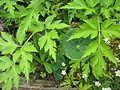 Ranunculus bauri (5820995872).jpg