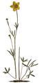 Ranunculus pedatus - Curtis's Botanical Magazine, t. 2229.png