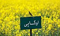 Rapeseed fields in Khusf county - 15 April 2018 24.jpg