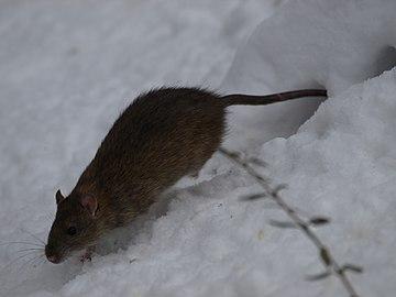 Rat in snow (4384448752).jpg