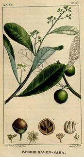 <i>Ravensara aromatica</i> species of plant