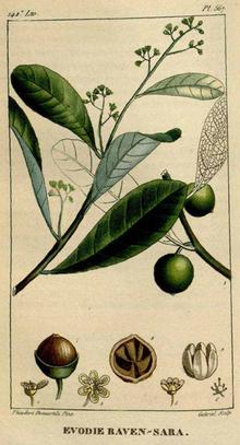 Ravensara aromatica - Wikipedia