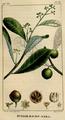 Ravensara aromatica.png