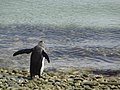 Ready for the Plunge King Penguin Falkland Islands.jpg