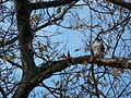 Red-Tailed Hawk in Easthampton MA.jpg