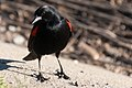 Red-winged Blackbird (16483020057).jpg