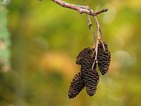 Red Alder Female Catkins in Autumn.jpg
