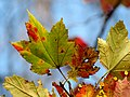 Red Maple (30980242652).jpg
